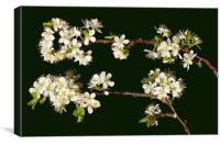 Plum blossom, Canvas Print