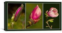 Magnolia Triptych, Canvas Print