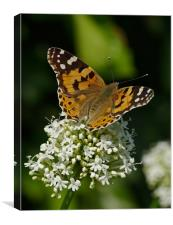 Painted lady butterfly, Canvas Print