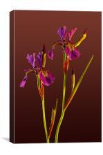 Two Irises, Canvas Print
