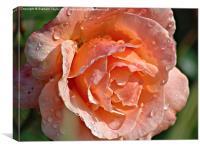 Wet Rose, Canvas Print