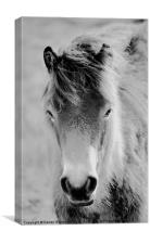 Wild Foal, Canvas Print