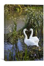 Swans I Love You, Canvas Print