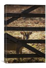 Muntjac  And Bars, Canvas Print
