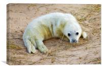 New born Norfolk Seal Pup, Canvas Print