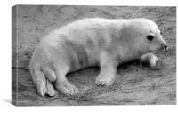Seal Pup On a Norfolk Beach., Canvas Print