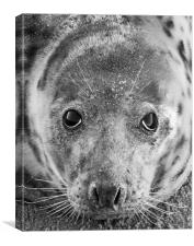 Grey Seal In Black And White, Canvas Print