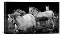 Polish Konik Horses, Canvas Print
