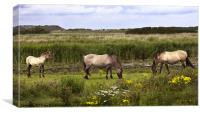 Polish Konik Horses Minsmere Suffolk., Canvas Print