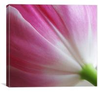 Pink tulip folds, Canvas Print