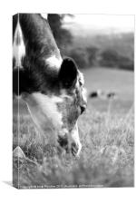Cow's Grazing, Canvas Print