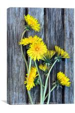 Dandelion Wild Flowers on Old Wood, Canvas Print