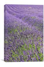 Lilac Lavendar Field Cotswolds, Canvas Print