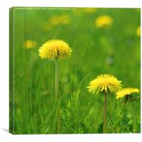 Natural Dandelions in Spring, Canvas Print