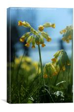 Cowslip Flowers and Spider in Spring, Canvas Print