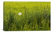Natural Dandelion in Spring Meadow, Canvas Print