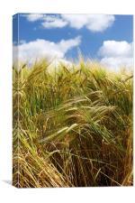 Tall Wheat Barley Crop Plants with Blue Sky, Canvas Print