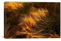 Soft Warm Barley Crop Plant Detail, Canvas Print