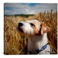 Parson Russell Terrier in Barley Field Smelling th, Canvas Print