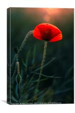 Single Poppy Flower Glowing in Warm Evening Sun, Canvas Print