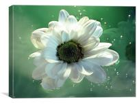 White Chrysanthemum in reflection, Canvas Print