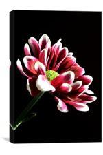 Chrysanthemum, Canvas Print