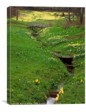 daffodil valley , Canvas Print