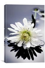Spider Chrysanthemum, Canvas Print