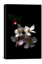 Apple blossom, Canvas Print