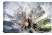 Dandelion seed head 2