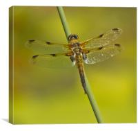 Four Spotted Chaser, Canvas Print