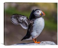 Puffin In A Flap, Canvas Print