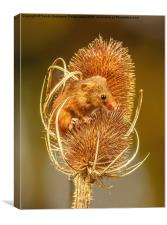 Harvest Mouse II, Canvas Print