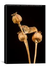 Harvest Mouse V, Canvas Print