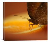 Owl Spotted Butterfly, Canvas Print