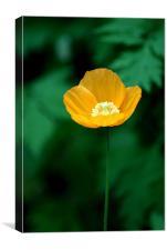 Yellow Poppy, Canvas Print