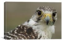 Peregrine Falcon Portrait, Canvas Print