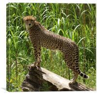 Cheetah ~ Acinonyx Jubatus, Canvas Print