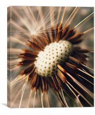 Dandelion Seedhead Macro., Canvas Print