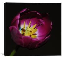 Tulip stigmas stamen &pollens