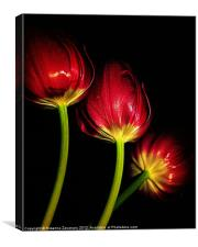 tulips in red.., Canvas Print