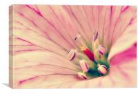 Pink softness., Canvas Print