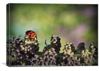 Walking Ladybird.., Canvas Print