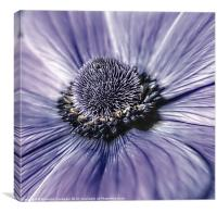 Anemone close up., Canvas Print