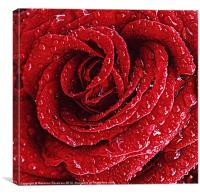 Red Rose Raindrops., Canvas Print