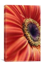 Gerbera Sunlight., Canvas Print