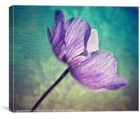 Delicately Anemone., Canvas Print