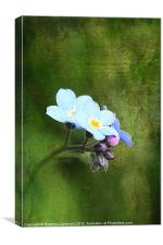 Forget-Me-Not., Canvas Print