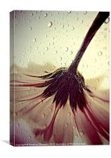 Gerbera Waterdroplets., Canvas Print