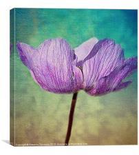 Purple Anemone., Canvas Print